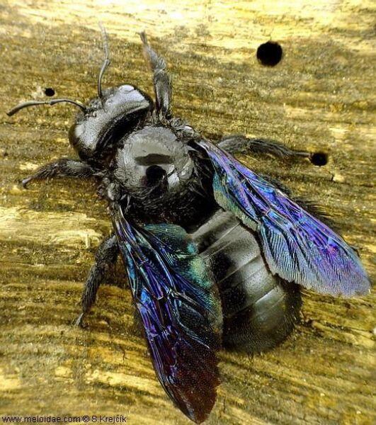 """Zadrzechnia fioletowa (Xylocopa violacea), zwana też """"czarną pszczołą"""" (Stanislav Krejčík)"""
