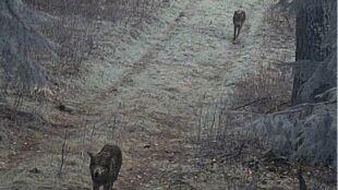 Wilki spacerowały w okolicach Szczytna
