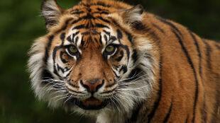 """Tygrys zabił pracownicę zoo. """"Nie winię go"""""""