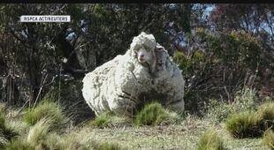 Najbardziej zarośnięta wełną owca na świecie nie żyje